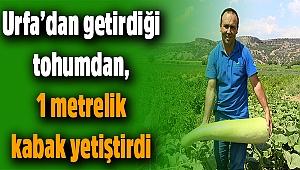 Urfa'dan getirdiği tohumdan 1 metrelik kabak yetiştirdi